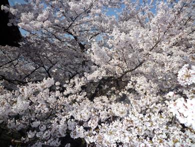 三井寺の満開の桜!